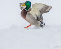 Male Mallard Duck. Coming in for a landing Stock Images