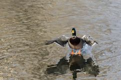 Mallard Duck Coming in for a Landing on the Still Water Royalty Free Stock Photos