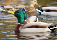 Male Mallard Duck. Couple swimming in water Stock Images