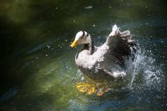 Duck splashing in the water. Male mallard or duck or drake splashing in the water while cleaning itself Stock Images