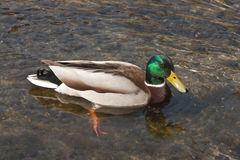 Male mallard duck, drake, swiming in pond Stock Photo
