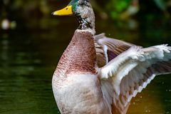 Male Mallard Duck Drake With Wings Outstretched Royalty Free Stock Photos