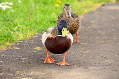 Male Mallard Duck Female and male Ducks Stock Photography