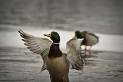 Male mallard duck flapping wings on icy pond. Anas platyrhynchos royalty free stock photo