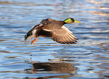 Male Mallard Duck in flight Stock Images