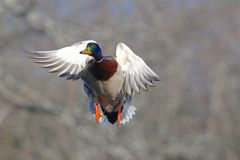 Male Mallard Duck in Flight in Fall. A male mallard duck Flying in Fall Royalty Free Stock Photos