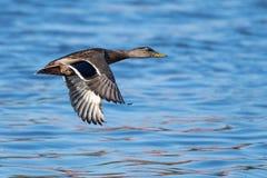 Mallard in Flight. Male Mallard Duck in Flight Over Water at Sunset Royalty Free Stock Photos