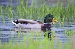 Male mallard duck floating on the water. Among grass Stock Photo