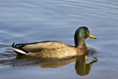 Male mallard duck. Floats in water Stock Photography