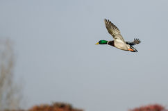 Male Mallard Duck Flying in the Autumn Sky Stock Photos