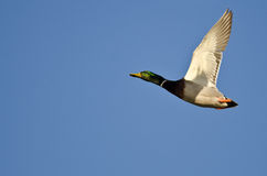 Male Mallard Duck Flying in a Blue Sky. Male Mallard Duck Flying in a Clear Blue Sky Stock Images