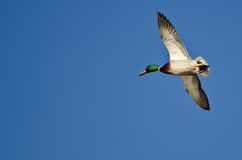 Male Mallard Duck Flying in a Blue Sky. Male Mallard Duck Flying in a Clear Blue Sky Stock Photos