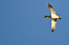 Male Mallard Duck Flying in a Blue Sky. Male Mallard Duck Flying in a Clear Blue Sky Stock Photography
