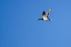 Male Mallard Duck Flying in a Blue Sky. Male Mallard Duck Flying in a Clear Blue Sky Stock Image