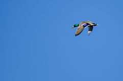 Male Mallard Duck Flying in a Blue Sky. Male Mallard Duck Flying in a Clear Blue Sky Royalty Free Stock Image