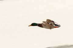 Male mallard duck flying over frozen river. Anas platyrhynchos Royalty Free Stock Photography