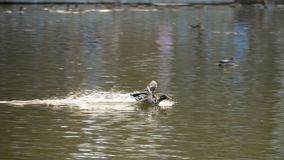 Male mallard duck flying. Over water and dive, slow motion