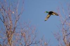 Mallard Duck Flying Past the Autumn Tree. Male Mallard Duck Flying Past the Autumn Tree Stock Photos