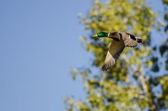 Mallard Duck Flying Past the Autumn Trees. Male Mallard Duck Flying Past the Autumn Trees Royalty Free Stock Image