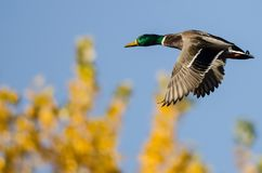 Mallard Duck Flying Past the Golden Autumn Trees Royalty Free Stock Image