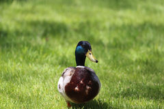 Male Mallard Duck Front View In Grass Royalty Free Stock Image