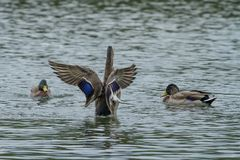 A male mallard duck getting in a flap. A photo of a male Mallard duck flapping his wings with others looking on Royalty Free Stock Photo