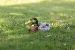 Male Mallard Duck on the green grass. stock images