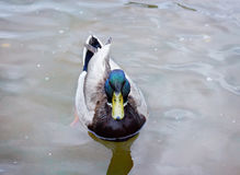 Male Mallard Duck With Green Head. Swims in City Pond, front view Stock Photos