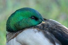 Male mallard duck with green shiny head. Portrait of a male mallard duck with a green shiny head. Resting with its beak tucked in the back Royalty Free Stock Image