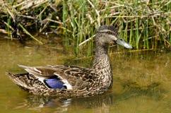 Male Mallard duck Royalty Free Stock Image