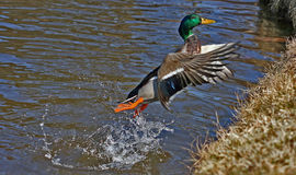 Male mallard duck. A male mallard duck jumping Stock Photos