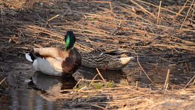 Male mallard duck is keeping guard in spring forest as female mallard duck. Is looking for food in the small puddles stock video