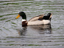 Male Mallard duck in lake Stock Image
