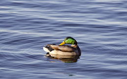 Male mallard duck on lake water Stock Photos