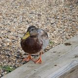 Male mallard duck on land stock photography