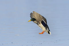 Male mallard duck landing. On a river Stock Photos