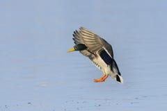 Male mallard duck landing Stock Photos