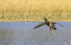 Male mallard duck landing. On the pond Stock Photos