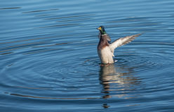 Male mallard duck landing in the water. Male mallard duck landing in the blue water Stock Photos