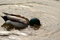 Male mallard duck looking for food underwater. In clear pond Stock Images