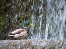 Male mallard duck Looking for food at the water in the waterfall. The Male mallard duck Looking for food at the water in the waterfall Stock Photos