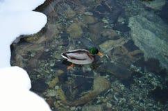 Male mallard duck Stock Photos
