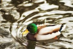 Male Mallard Duck swimming in a pond. A male mallard duck a member of the dabbling duck family swims in a pond stock photography
