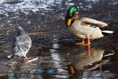 Male mallard duck and pigeon Stock Images