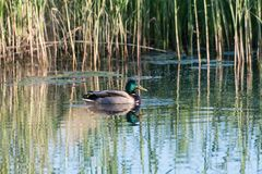 Male Mallard Duck in a pond. Beautiful male Mallard duck in natural habitat in a pond Royalty Free Stock Images