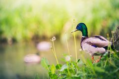 Male Mallard Duck at The Pond, Looking at Ducks. Birdwatching and Wildlife in Summer Nature Stock Photos