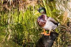 Male Mallard Duck in Pond With Reeds Stock Photo