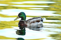 Male mallard duck on pond Stock Photo