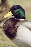 Male mallard Duck Portrait. Portrait of a male Mallard Duck Royalty Free Stock Images