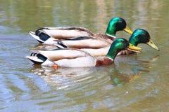 Male Mallard Duck Race with copy space. Three male mallard ducks race across a pond Stock Photography